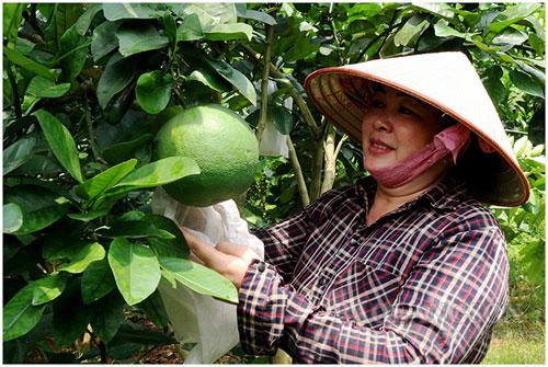 Bà Bử chăm sóc, kiểm tra vườn bưởi của gia đình