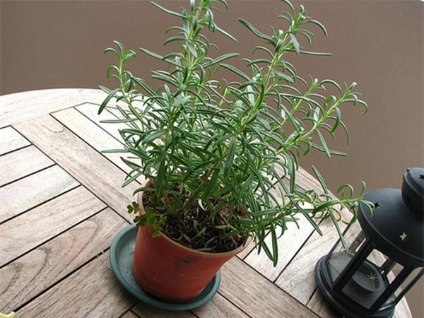 Một chậu hương thảo trên bậu cửa sổ, nơi đón nhiều nắng là vị trí lý tưởng nhất để hương thảo luôn xanh tốt. Nguồn:hoadepviet.com