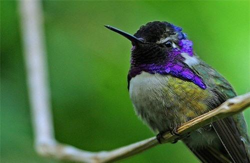 1001 thắc mắc: Loài chim nào có thể bay lùi, được mệnh danh là 'phi cơ thần tốc'? - ảnh 1