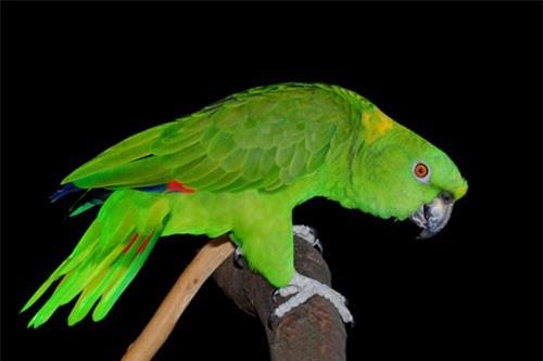 1001 thắc mắc: Loài chim nào hót như tiếng người cười? - ảnh 2