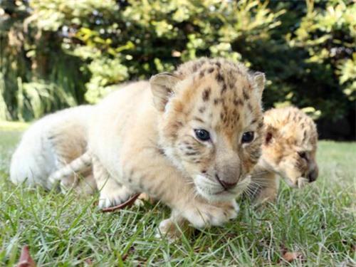 hỉ mới 6 tuần tuổi, những con vật này đã nặng hơn 7 kg và tăng gần nửa kg mỗi ngày
