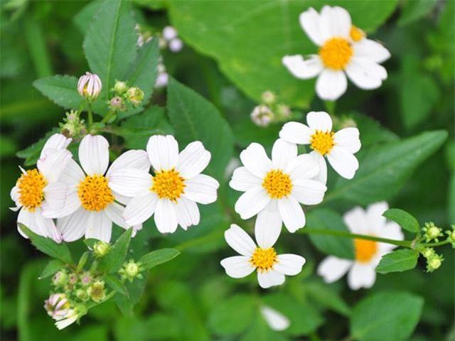 Hoa xuyến chi: ý nghĩa và tác dụng chữa bệnh của hoa cỏ hôi - 1