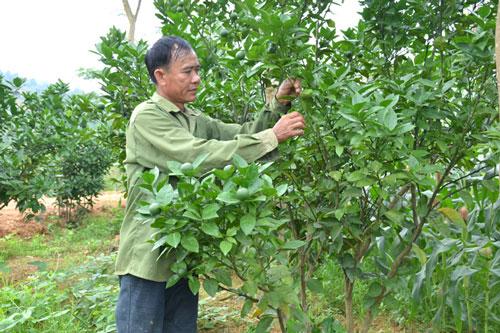Ông Vũ Tiến Nhu, thôn Trung Long, xã Trung Yên (Sơn Dương) chăm sóc cây cam Vinh.