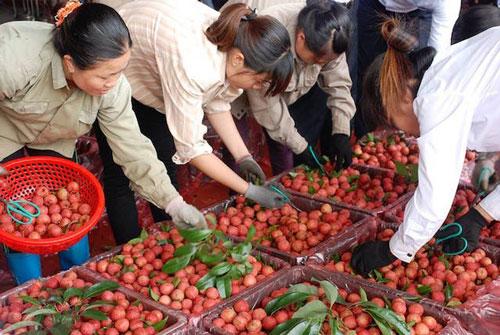 4 tháng đầu năm 2020, Trung Quốc giảm nhập vải thiều Việt Nam vì Covid-19 (Ảnh: Internet)