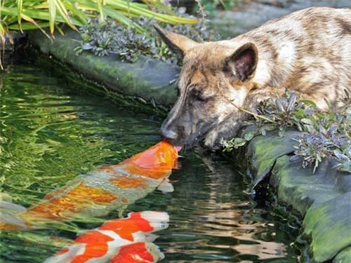Ảnh đẹp: Chó hôn cá vàng - 2