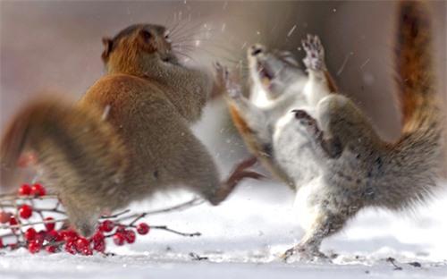 Ảnh đẹp: Gấu Bắc Cực ăn mừng sinh nhật - 1