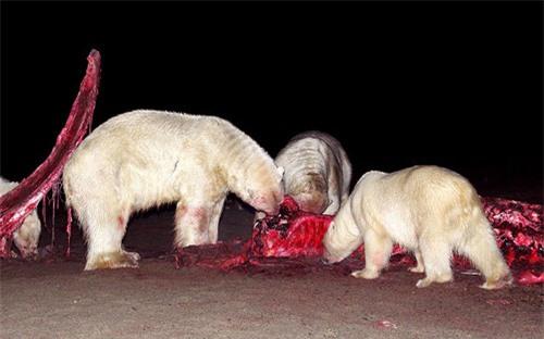 Ảnh đẹp: Gấu Bắc Cực ăn mừng sinh nhật - 12