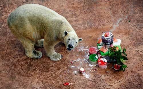 Ảnh đẹp: Gấu Bắc Cực ăn mừng sinh nhật - 2