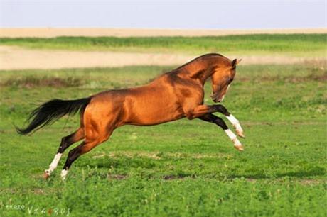 Ngựa Hãn Huyết Mã được ngợi ca vì long trung thành với chủ (Ảnh minh họa)