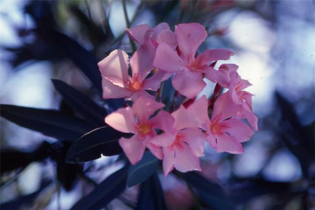 Những loại cây cảnh đẹp có độc dễ gây tử vong - 1