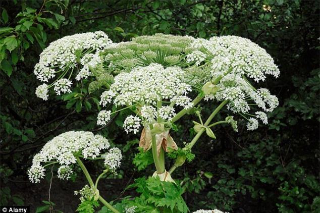 Những loại cây cảnh đẹp có độc dễ gây tử vong - 6