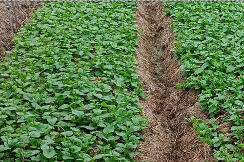 Cây trồng được tưới bàng nước tiểu pha loãng
