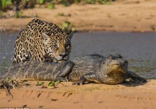 Ảnh: Báo gấm bơi qua sông tấn công cá sấu - 4