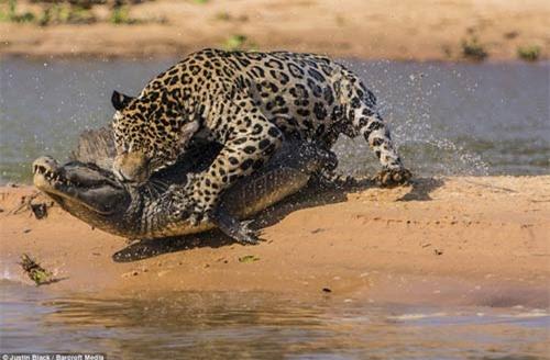 Ảnh: Báo gấm bơi qua sông tấn công cá sấu - 7