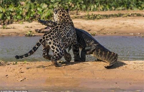 Ảnh: Báo gấm bơi qua sông tấn công cá sấu - 9