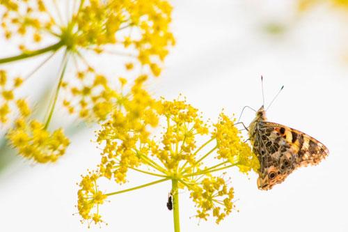 Bướm Vanessa cardui hút mật trên bong hoa ở Đảo Síp. Đây cũng chính là địa điểm ngừng chân trong quãng đường di cư từ Trung Đông tới Tây Âu của loài bướm này. Ảnh: Will Hawkes.