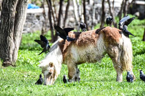 Những chú quạ tìm bọ trên người ngựa trong Công viên Mesut Yilmaz, Thổ Nhĩ Kỳ. Ảnh: Ismail Kaplan.