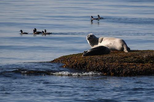 Hải cẩu mẹ cùng con phơi nắng tại Vịnh Kambalnaya, quận Lazovsky, Nga. Ảnh: Yuri Smityuk