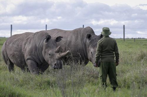 Một kiểm lâm quan sát những chú tê giác trắng phía Bắc tại khu bảo tồn Ol Pejeta ở Kenya. Ảnh: Khalil Senosi.