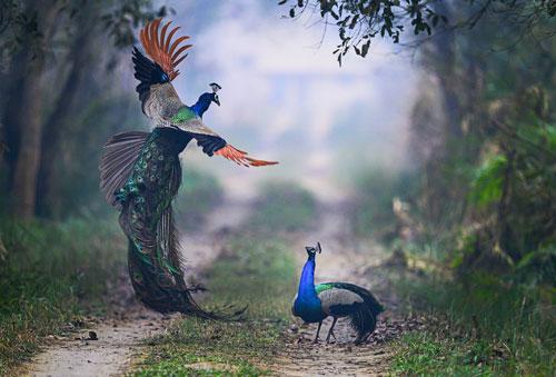 Công ác chiến với đồng loại tại Vườn quốc gia Dudhwa, Ấn Độ. Ảnh: Nilesh Patel.