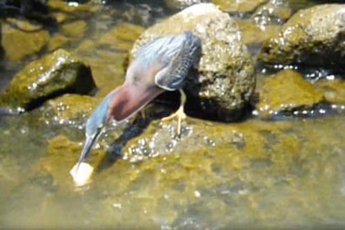 Diệc xám dùng bánh mì để nhử cá tới và bắt chúng.