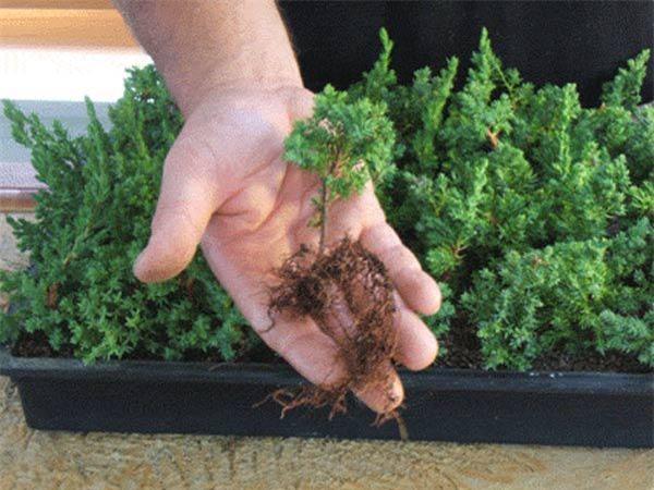 Cách trồng cây tùng bồng lai vừa sang nhà lại mang đến may mắn, thịnh vượng - 3