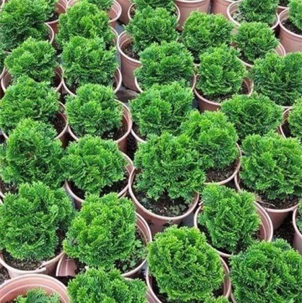 Cách trồng cây tùng bồng lai vừa sang nhà lại mang đến may mắn, thịnh vượng - 4