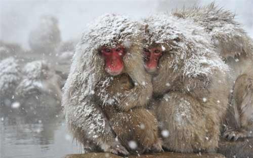Ảnh đẹp: Khỉ tuyết ôm nhau bên suối nước nóng - 5