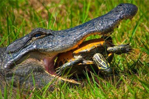Ảnh đẹp: Rùa tắm nắng trên bờ hồ - 4