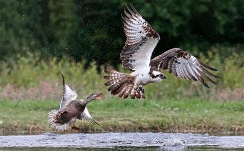 Ảnh đẹp: Vịt liều mình đuổi... chim ưng biển - 2