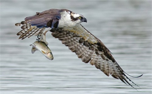 Ảnh đẹp: Vịt liều mình đuổi... chim ưng biển - 6