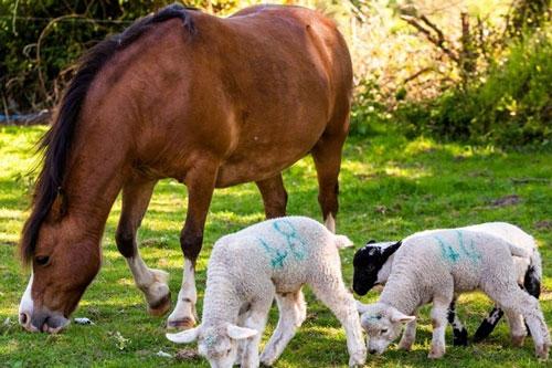 Ngựa Heidi luôn ở cạnh chăm sóc ba chú cừu non. (Ảnh: Foxnews)