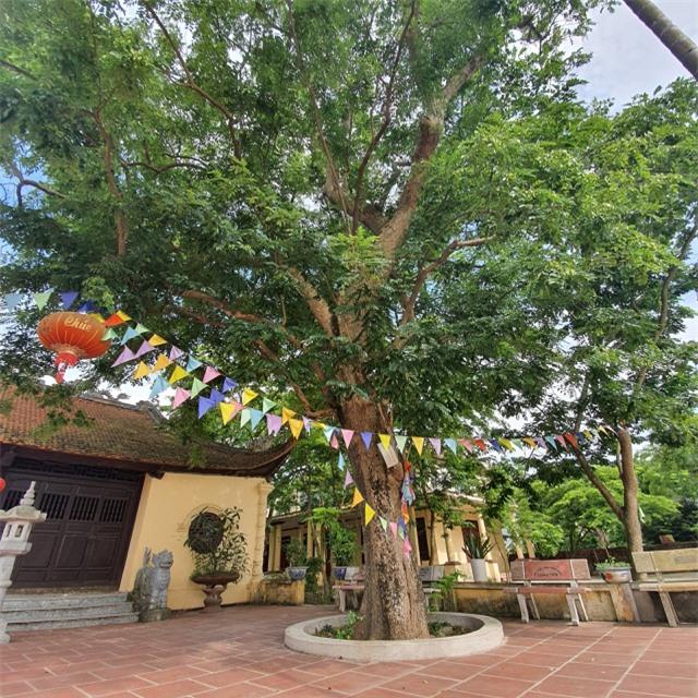 Sau cây sưa 24,5 tỷ đồng, làng Đông Cốc lại bán thêm 1 cây sưa tiền tỷ - 1