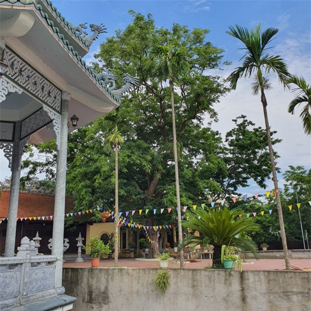 Sau cây sưa 24,5 tỷ đồng, làng Đông Cốc lại bán thêm 1 cây sưa tiền tỷ - 6