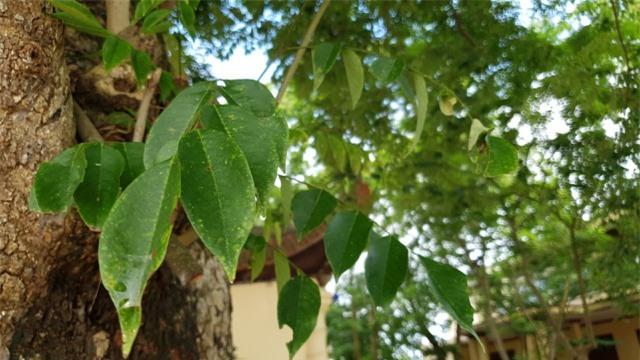 Sau cây sưa 24,5 tỷ đồng, làng Đông Cốc lại bán thêm 1 cây sưa tiền tỷ - 7