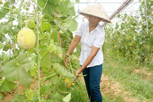 Mô hình dưa lưới đang cho thu nhập cao ở HTX Dương Thành (Ảnh Tư liệu)