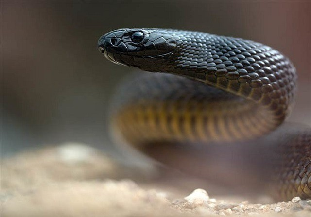 Mục sở thị loài rắn độc nhất thế giới - ảnh 2