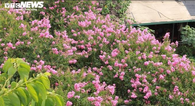 Ảnh: Con đường rực rỡ hoa tường vi như vườn cổ tích ở Hà Nội - 1