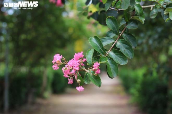 Ảnh: Con đường rực rỡ hoa tường vi như vườn cổ tích ở Hà Nội - 13