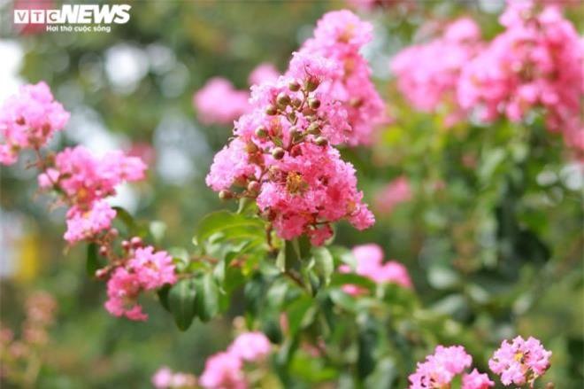Ảnh: Con đường rực rỡ hoa tường vi như vườn cổ tích ở Hà Nội - 14