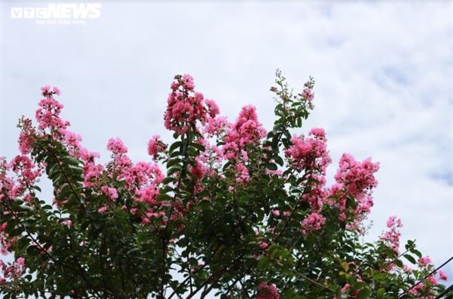 Ảnh: Con đường rực rỡ hoa tường vi như vườn cổ tích ở Hà Nội - 15