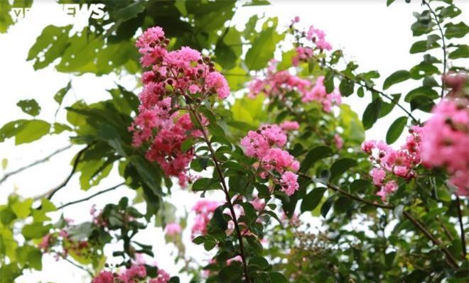 Ảnh: Con đường rực rỡ hoa tường vi như vườn cổ tích ở Hà Nội - 16
