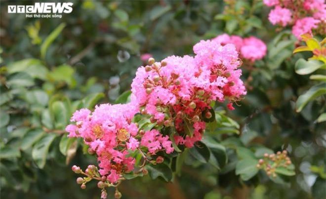 Ảnh: Con đường rực rỡ hoa tường vi như vườn cổ tích ở Hà Nội - 17