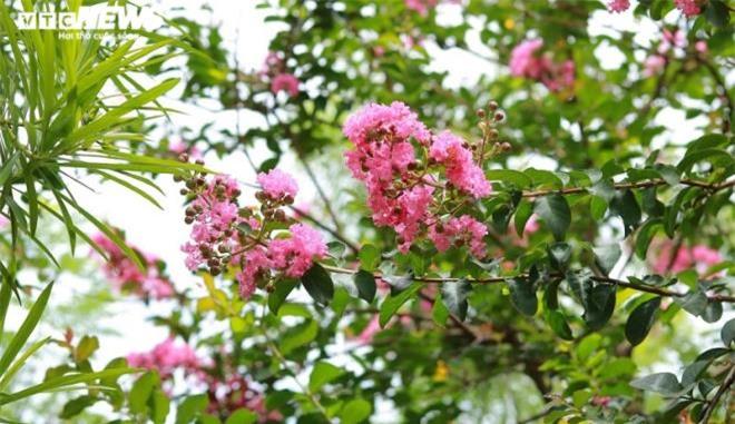 Ảnh: Con đường rực rỡ hoa tường vi như vườn cổ tích ở Hà Nội - 18