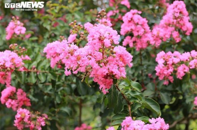 Ảnh: Con đường rực rỡ hoa tường vi như vườn cổ tích ở Hà Nội - 19
