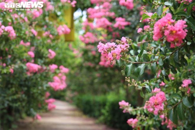 Ảnh: Con đường rực rỡ hoa tường vi như vườn cổ tích ở Hà Nội - 3