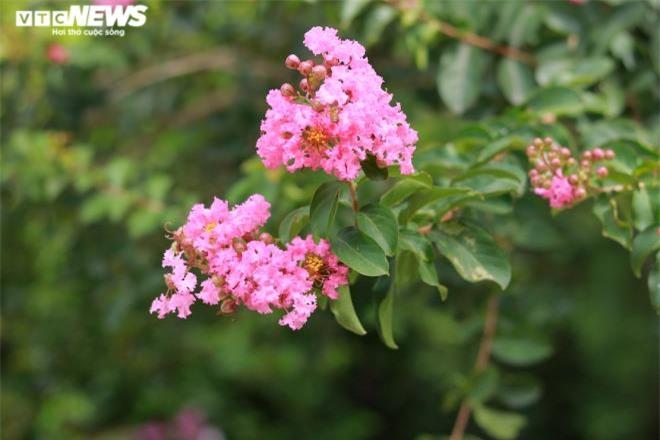 Ảnh: Con đường rực rỡ hoa tường vi như vườn cổ tích ở Hà Nội - 4