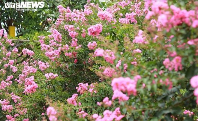 Ảnh: Con đường rực rỡ hoa tường vi như vườn cổ tích ở Hà Nội - 5
