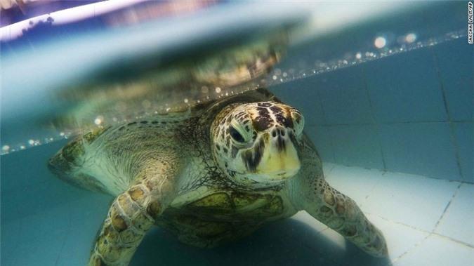 Con rùa không thể bơi dưới nước, các bác sĩ siêu âm và phát hiện sự thật đáng sợ, kết cục càng khiến mọi người không khỏi xót xa - Ảnh 1.