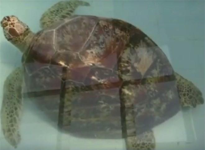 Con rùa không thể bơi dưới nước, các bác sĩ siêu âm và phát hiện sự thật đáng sợ, kết cục càng khiến mọi người không khỏi xót xa - Ảnh 2.